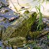 Texas bullfrog, Rana catesbeiana