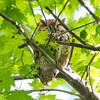 Eastern screech owl, rufus,