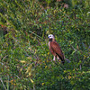 Black-collared Hawk, Busarellus nigricollis