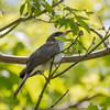 Yellow-billed cuckoo, Coccyzus americanus