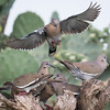 White-winged Dove, Zenaida asiatica
