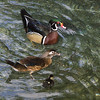 Wood duck, Carolina duck, Aix sponsa