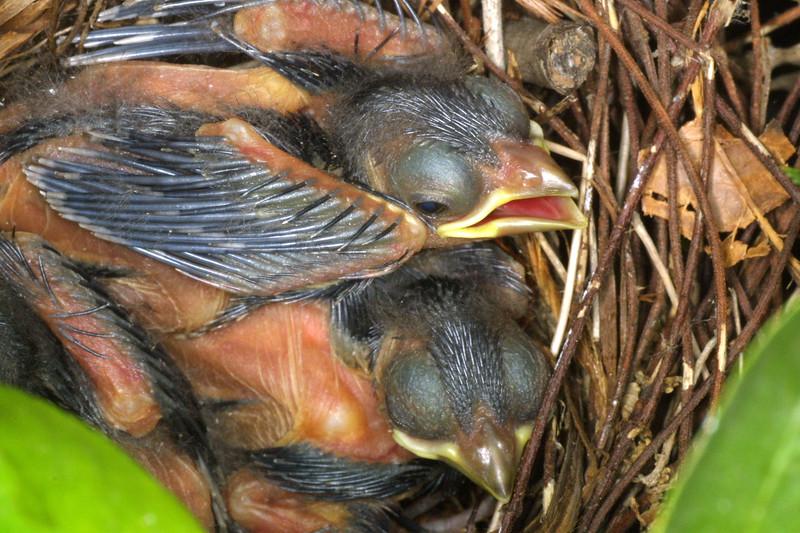 Northern Cardinal, 3 day old, Cardinalis cardinalis
