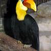 Sundra Wrinkled Hornbill, Aceros corrugatus corrugatus