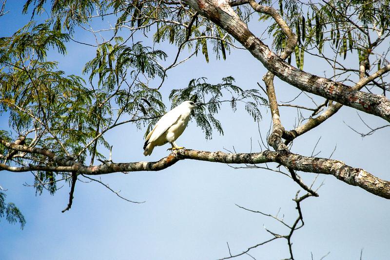 White Hawk, Pseudastur albicollis
