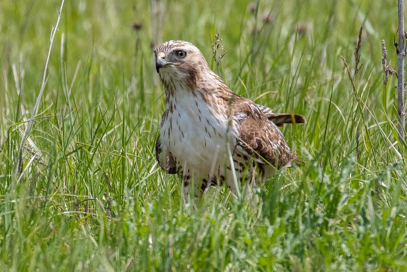 Red-tailed hawk, Buteo jamaaicensis
