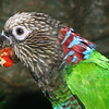 Hawk-headed parrot, Deroptyus accipitrinus