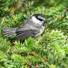 Mountain Chickadee, Poecile gambeli