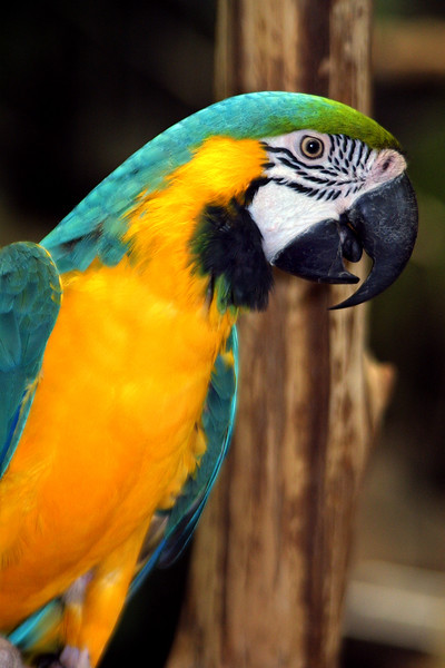 Blue and Yellow Macaw, Ara ararauna