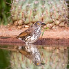 Curved-billed Thrasher, Toxostoma curvirostre
