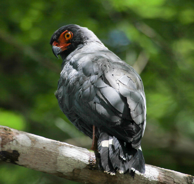 Slate-colored hawk, Leucopternis schistaceus