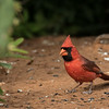 Northern Cardinal, Cardinalis cardinalis