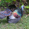 Ocellated turkey, Meleagris ocellata