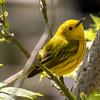 Yellow Warbler, Dendroica petechia