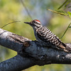 Ladder-backed woodpecker, Picoides scalaris