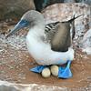Blue-footed boobie, Sula nebouxii excisa