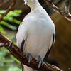Pied Imperial Pidgeon, Tucala bicolor