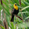 Yellow-headed blackbird, Xanthocephalus xanthocephalus