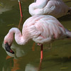 Lesser Flamingo, Phoeniconaias minor