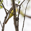 Great crested flycatcher, Myiarchus criniyus