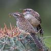 Cactus wren, Campylorhynchus brunneicapillus