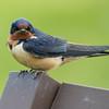 Barn swallow, Hirundo rustica