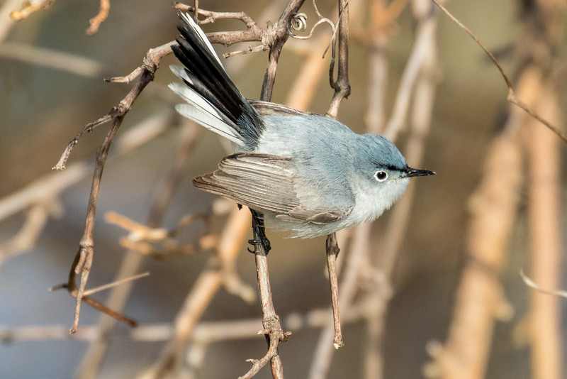 Blue-gray gnatcatcher, Polioptila caerulea, male