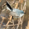 Blue-gray gnatcatcher, Polioptila caerulea, male