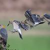 Golden-fronted woodpecker, Melanerpes aurifrons