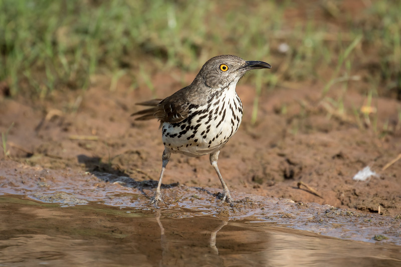 Long-billed thrasher, Toxostoma longirostre