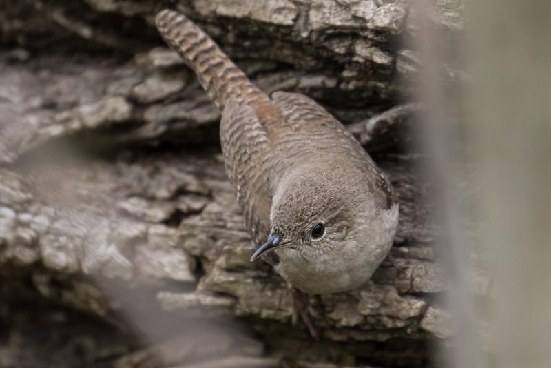 House wren, Troglodytes aedon