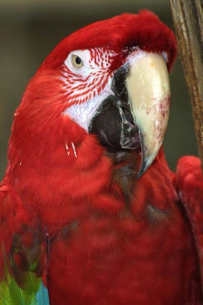 Green Winged Macaw, Ara chloroptera