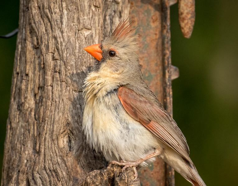 Northern cardinal, Cardinalis cardinalis, female