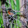 American Pygmy Kingfisher, Chloroceryle aenea