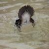 Hooded Merganser, Lophodytes cucullatus, male