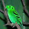 Lesser Green Broadbill, Calyptomena viridis
