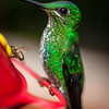 Green-crowned Brilliant, Heliodoxa jacula, female