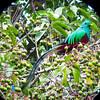 Resplendent quetzal, Pharomachrus mocinno