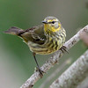 Cape may warbler, Setophaga tigrina, female