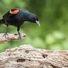 Red-winged Blackbird, Agelaius phoeniceus, male