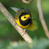 Hooded Warbler, Setophaga citrina