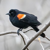 Red-winged blackbird, Agelaius humeralis