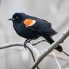 Red-winged blackbird, Agelaius humeralis