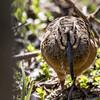 American woodcock, Scolopax rusticola