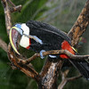 Red-billed Toucan, Ramphastos tucanus