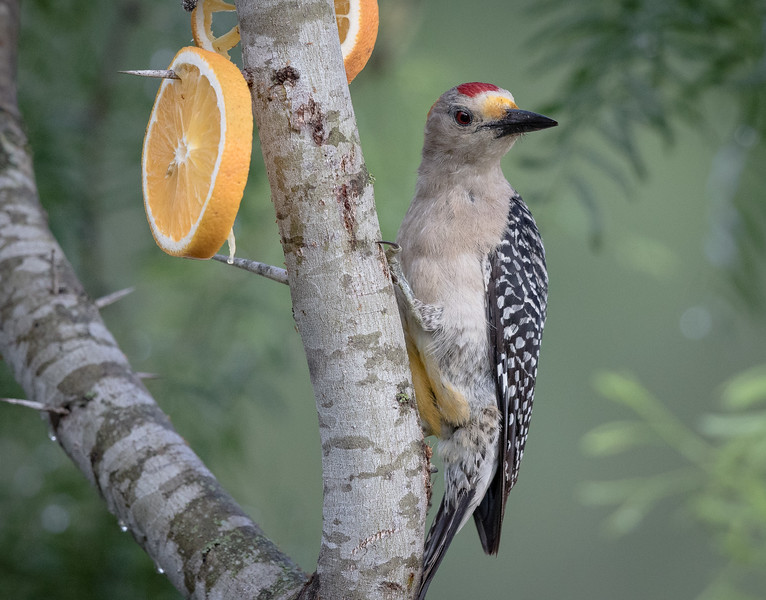 Golden-fronted woodpecker Melanerpes aurifrons, male