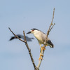 Black-crowned night heron, Nycticorax nycticorax