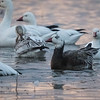 Snow goose, Chen caerulescens, (Blue goose)