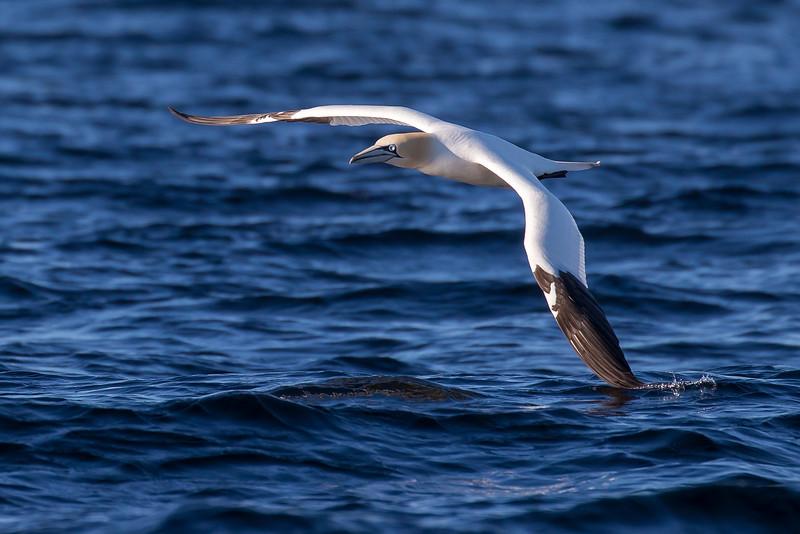 Northern Gannet, Morus bassnus