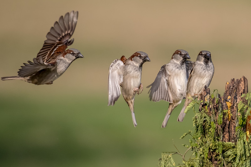 House sparrow, Passer domesticus